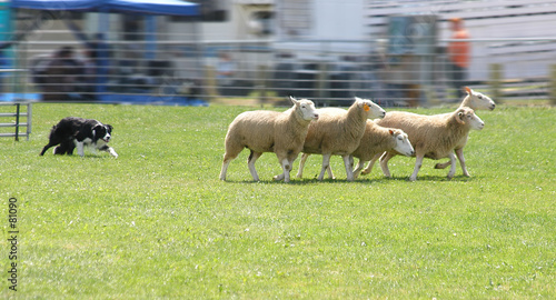 Canvas Schapen sheep dog 4950