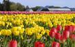 tulip field 764
