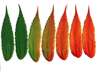 walnut leaves changing colors