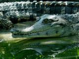 caîman ou crocodile? poster