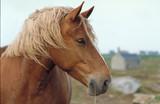 Fototapeta cheval de trait postier breton