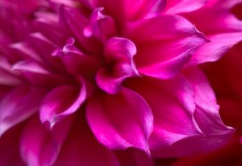 purple and pink petal study