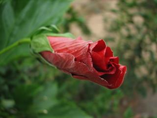 closed hibiscus 2