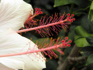 hibiscus tips
