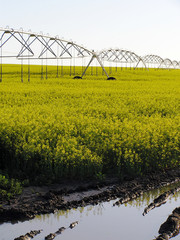 irrigated canola field