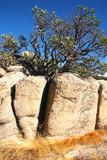 tree in boulder poster