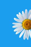 daisy on blue