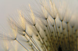 dandelion seed in twilight - 98428
