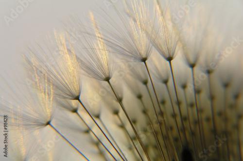 nasion-mniszka-lekarskiego-w-polmroku