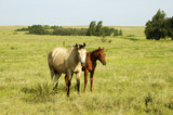 pair of horses in the pasture. poster
