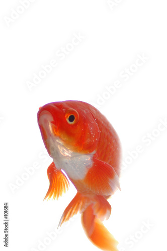 Poisson rouge de anjocreatif photo libre de droits for Tarif poisson rouge