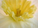 macro of daffodil with water droplets poster