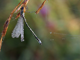 dragonfly and water drop poster