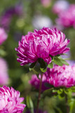 blooming purple chrysanthemums poster
