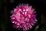 single chrysanthemum poster