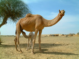 baby camel feeding poster