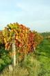 vigne couleur d'automne