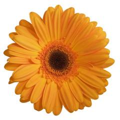 fleur (gerbera)