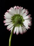 single daisy 2 poster