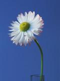 single daisy 3 poster