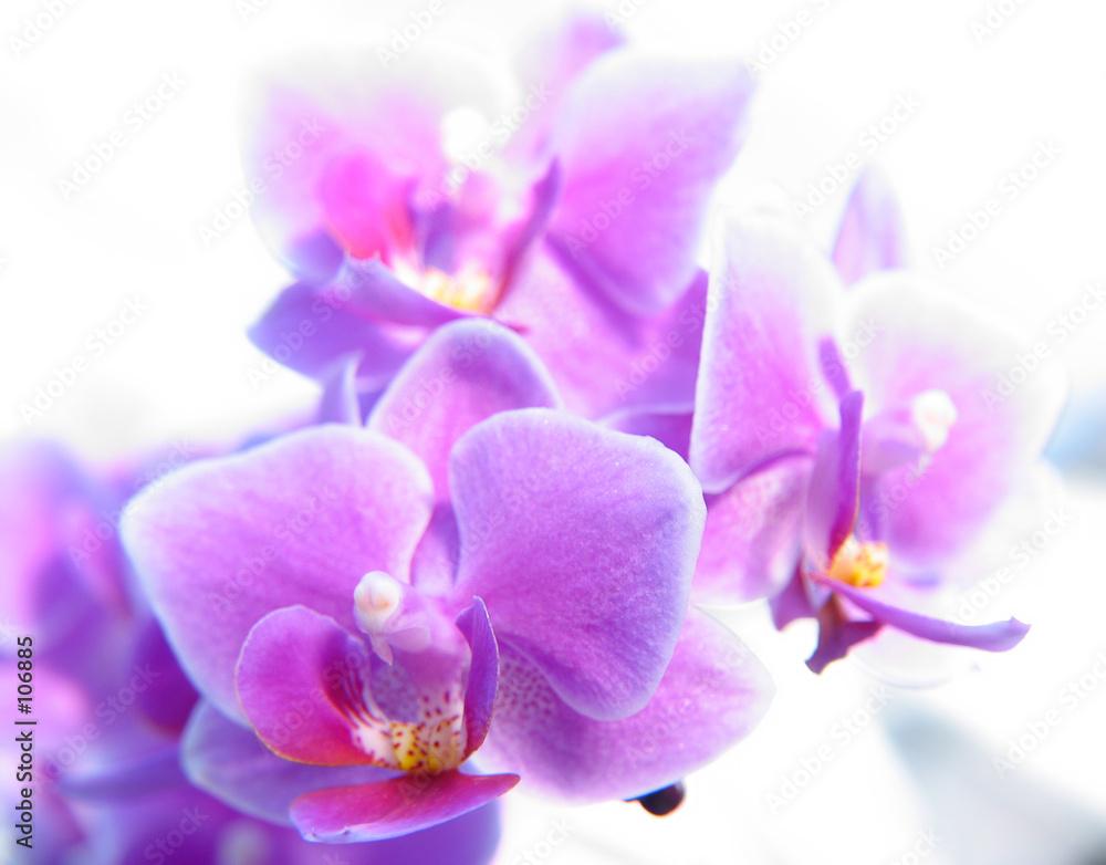 phalaenopsis kwiat kwitnący - powiększenie
