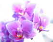 roleta: phalaenopsis