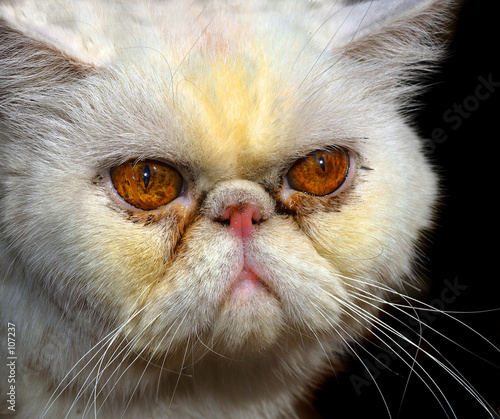 poster of angry  persian cat