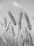 wheat before harvest (black and white) poster