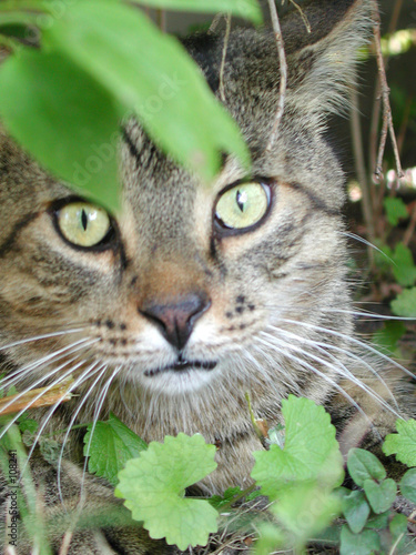 poster of short haired cat hiding in bushes