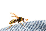 wasp on blue jeans poster