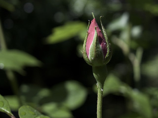 single pink rose ready to blossom