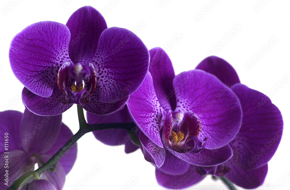 fioletowy natura roślina - powiększenie