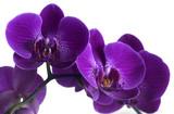 Fototapeta fioletowy - natura - Kwiat