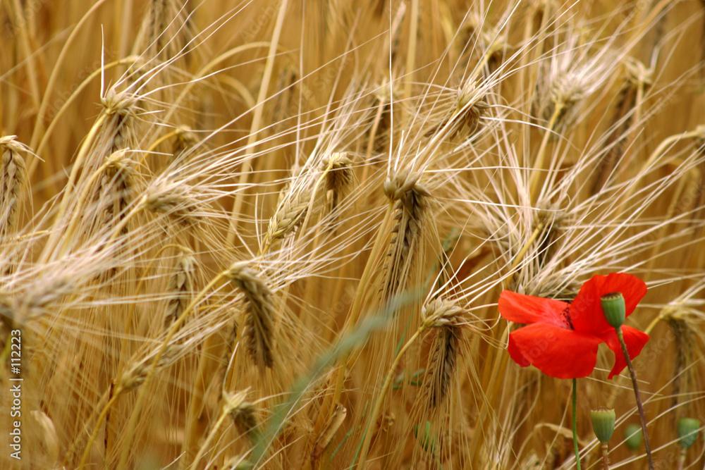 czerwony pole natura - powiększenie