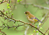 the greenfinch poster