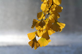 yellow gingko leaves poster