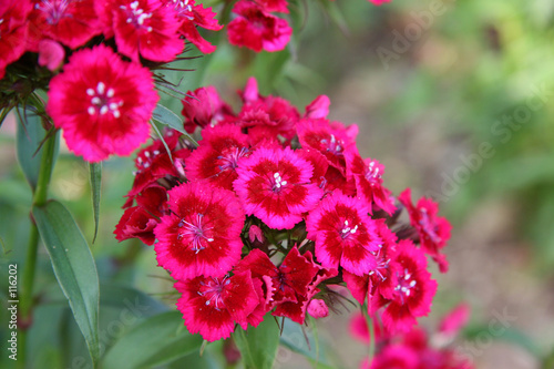 pink and red phlox