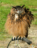 the hoo hoo owl poster