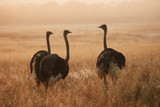 three ostriches poster