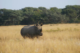 waiting rhino poster
