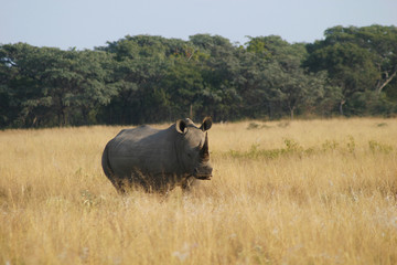 waiting rhino