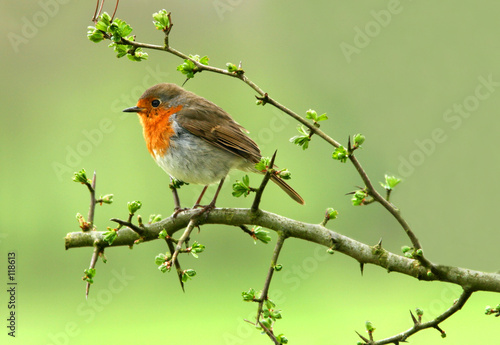 canvas print picture the robin