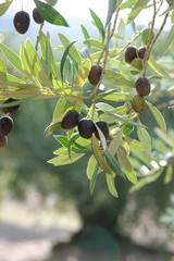 dans l'oliveraie