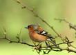 roleta: the chaffinch
