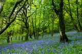 bluebell fairyland poster
