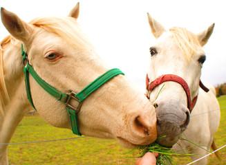 horses eating same grass
