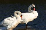 swans, forever together, poster