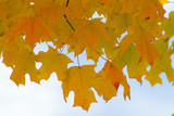 yellow and orange leaves against sky poster