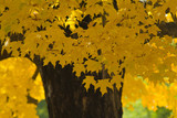 yellow leafed maple in the forest poster