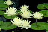 pale yellow water lillies in a pond poster